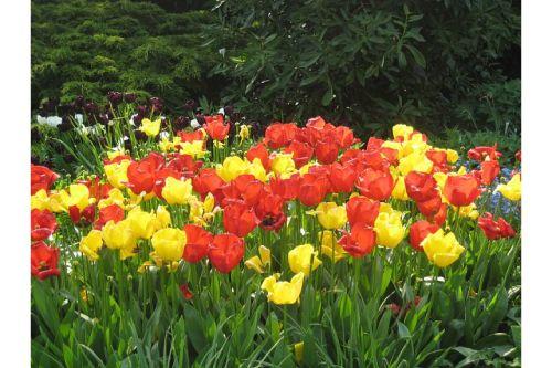 uni parks tulips