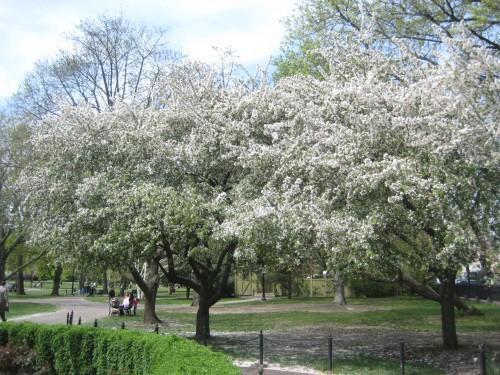 boston public garden blooming trees