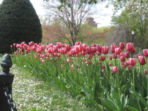 boston public garden pink tulips