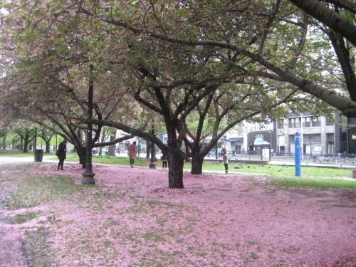 boston common cherry blossoms