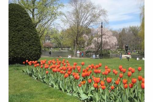 tulips boston public garden