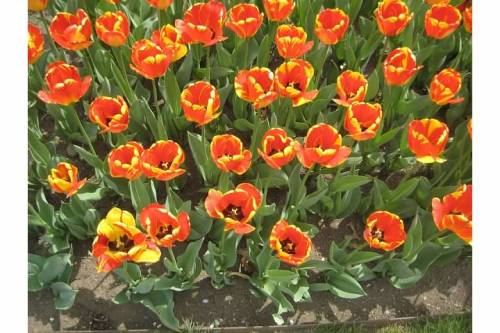 orange tulips flowers spring garden