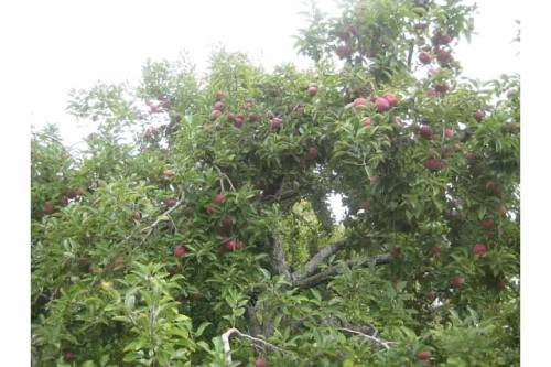 apple tree branches orchard