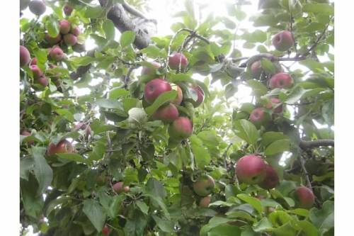 apple tree close up fruit orchard