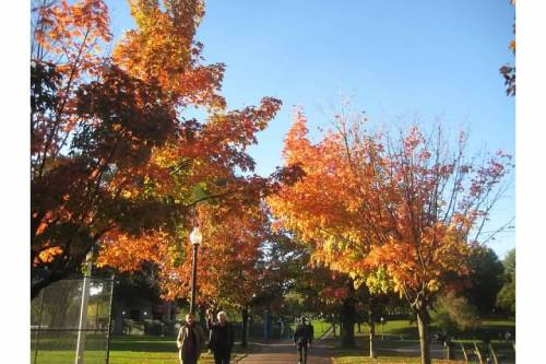 boston common maples autumn leaves red orange
