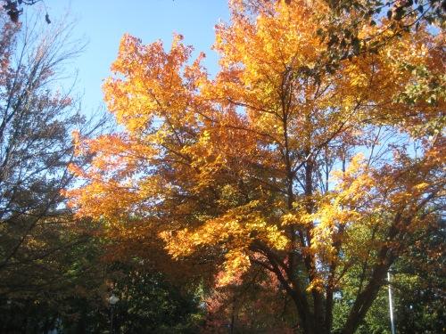 leaves yellow orange fall boston common autumn