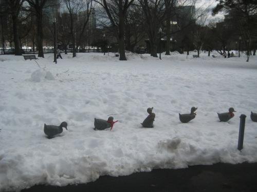 ducklings snow boston public garden
