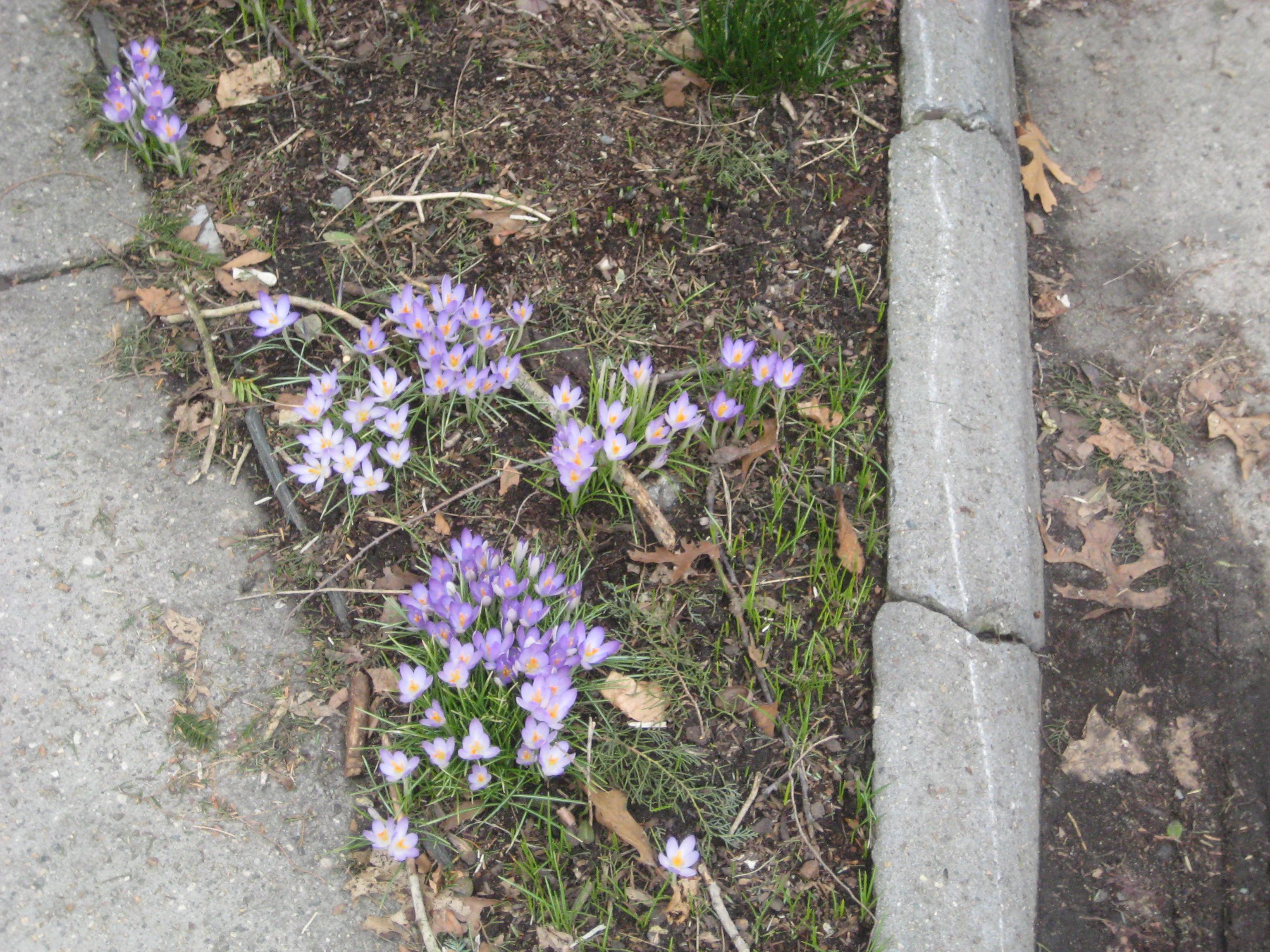 crocuses purple spring cambridge ma