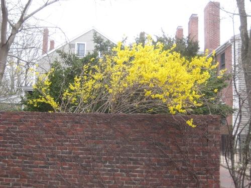cambridge ma forsythia yellow spring
