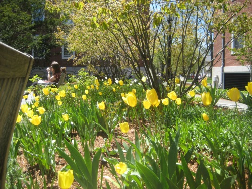 yellow tulips longfellow appian way spring