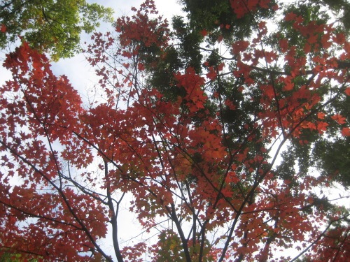 red leaves tree autumn