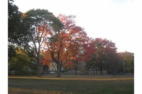 trees cambridge common autumn cambridge ma
