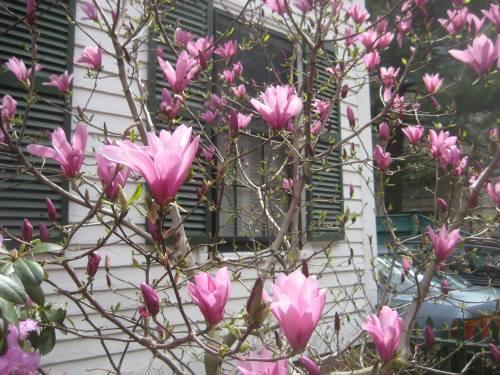 magnolia harvard square