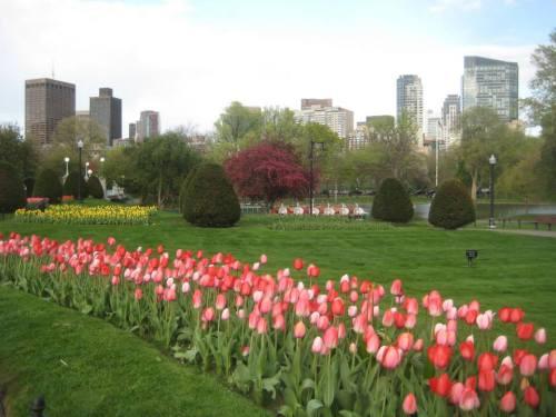 tulips swan boats public garden
