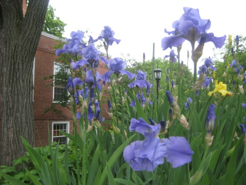 irises garden cambridge ma