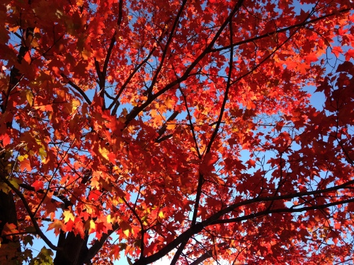 red leaves blue sky autumn