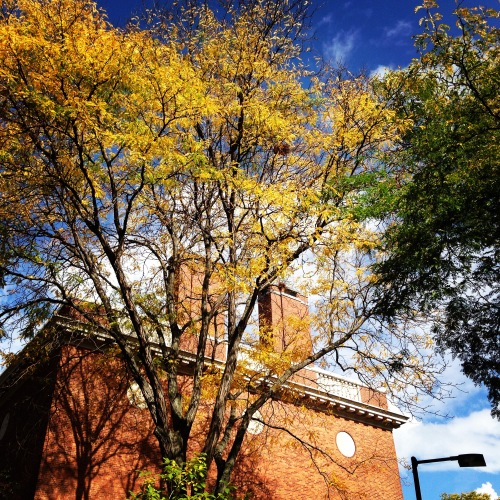 harvard yellow leaves houghton library