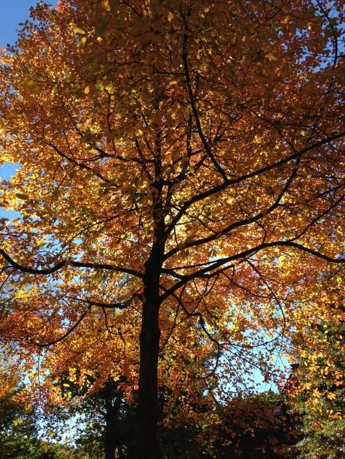 golden tree harvard yard fall
