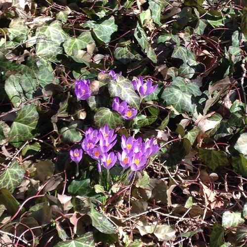 purple crocuses flowers spring