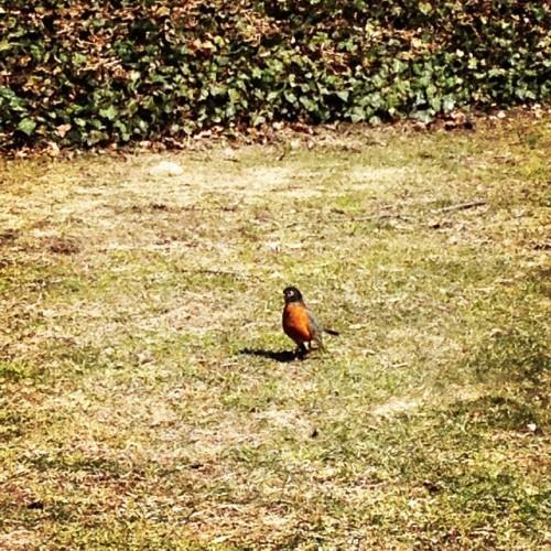 robin redbreast bird spring