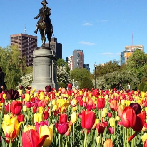 tulips-public-garden