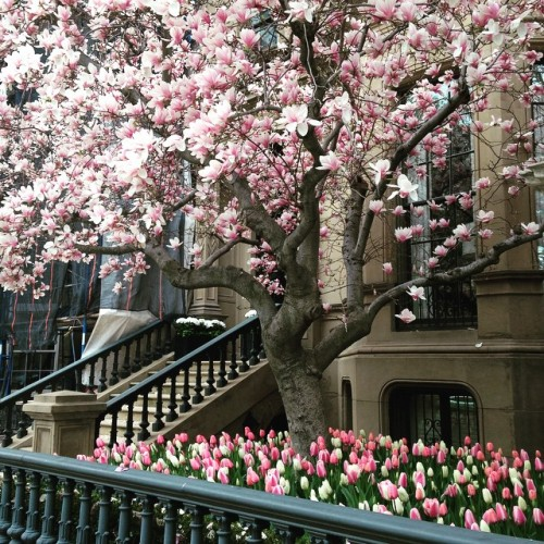 magnolia tree tulips pink boston spring