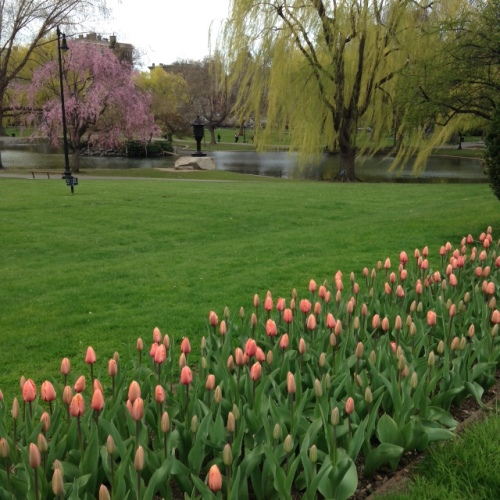 public garden tulips may 2015
