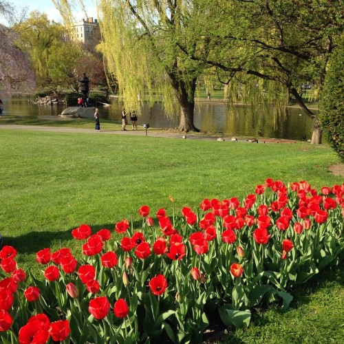 red tulips public garden boston