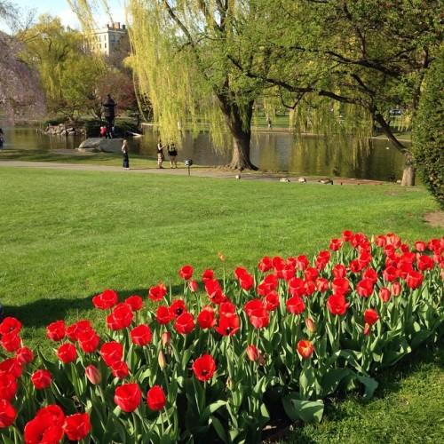 red tulips public garden boston