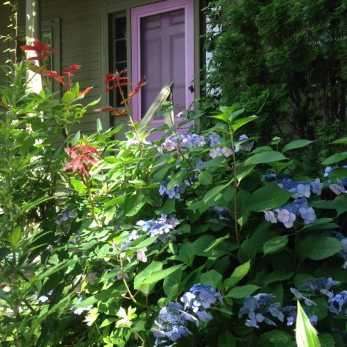 blue hydrangeas purple door