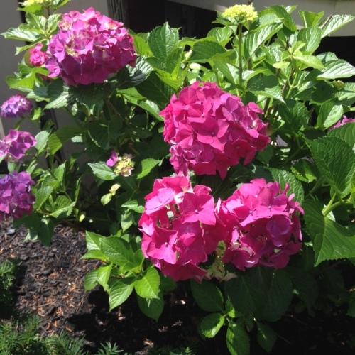 pink hydrangeas flowers