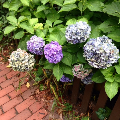 blue purple hydrangeas