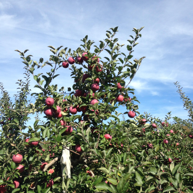 apple trees blue sky