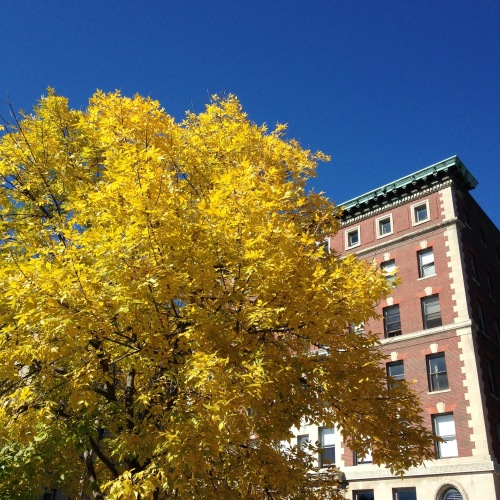 yellow leaves boston blue sky