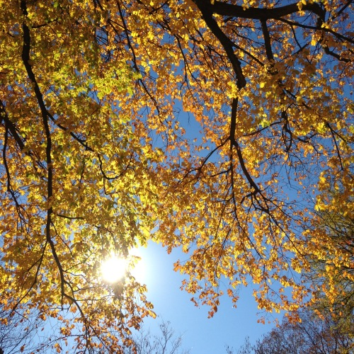 golden leaves sunshine