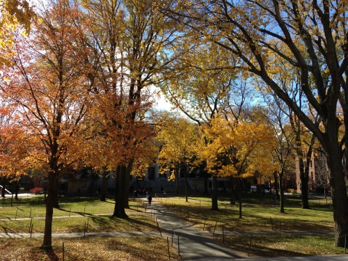 harvard yard fall golden leaves