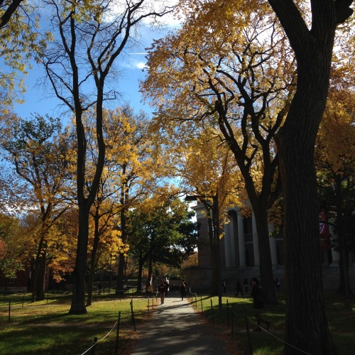 harvard yard path trees light