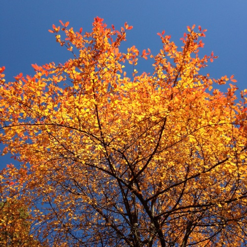 orange gold leaves blue sky