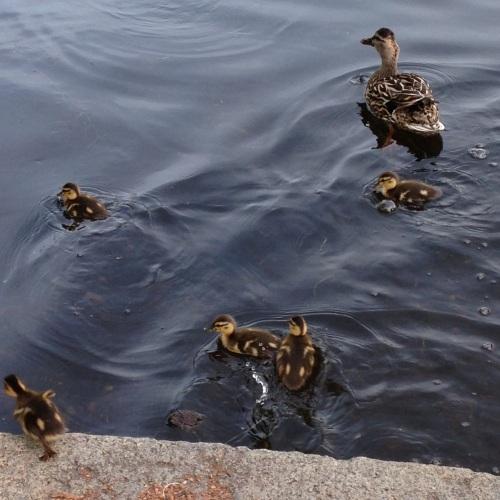 ducklings mama duck public garden boston
