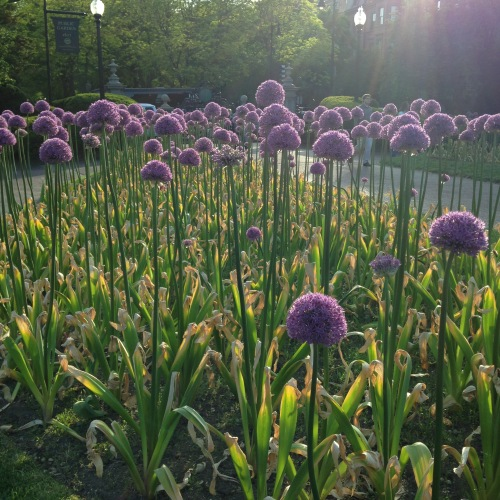 alliums boston public garden