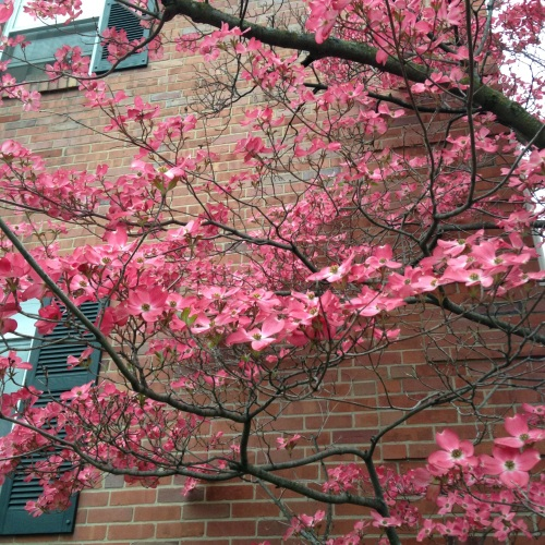 dogwood tree brick wall