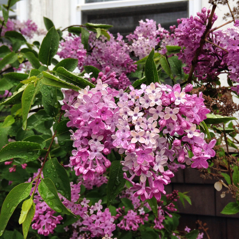 lilacs flowers rain