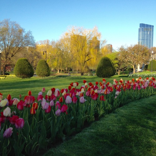 multicolored-tulips-willow