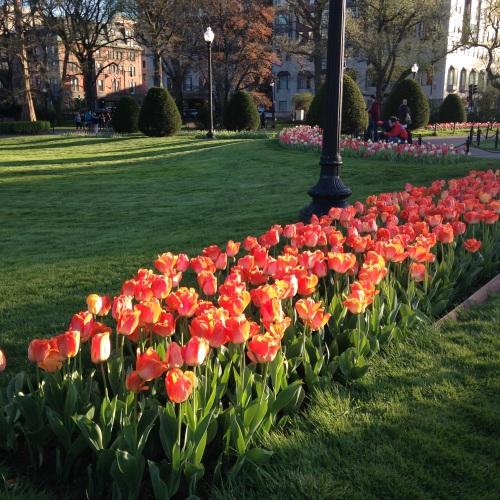 orange-tulips-public-garden