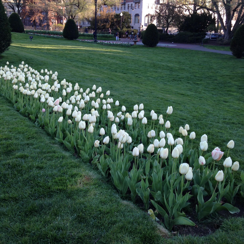 white tulips boston public garden