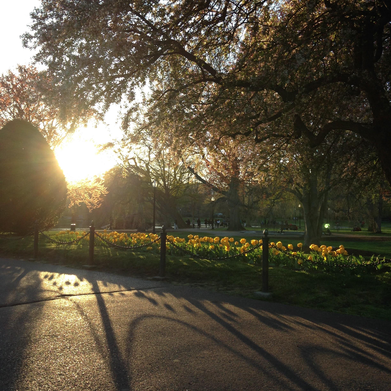 yellow-tulips-light