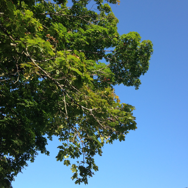 green leaves blue sky