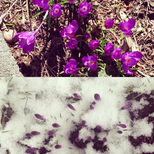 crocuses snow diptych