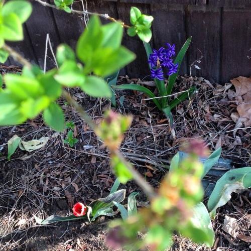 tulip hyacinth leaves spring