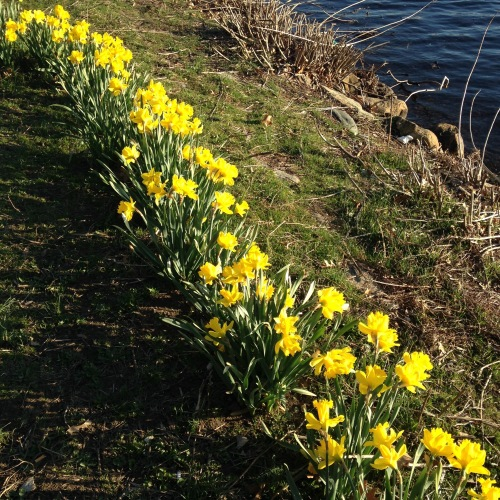 daffodils charles river cambridge spring
